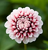 CLOSE UP OF THE PINK FLOWER OF DAHLIA TIPTOE (MINIATURE FLOWERED DECORATIVE)