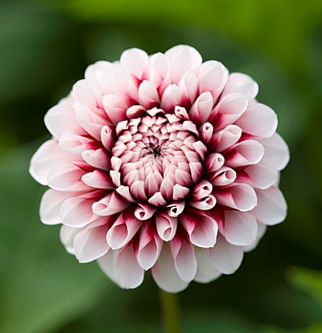 CLOSE_UP_OF_THE_PINK_FLOWER_OF_DAHLIA_TIPTOE_MINIATURE_FLOWERED_DECORATIVE