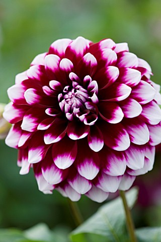 CLOSE_UP_OF_THE_PINK_FLOWER_OF_DAHLIA_TOMO_SMALL_FLOWERED_DECORATIVE