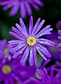 CLOSE UP OF THE BLUE FLOWERS OF ASTER AMELLUS VIOLET QUEEN