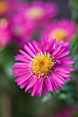 OLD COURT NURSERIES  WORCESTRSHIRE: CLOSE UP OF PINK FLOWER OF ASTER TWINKLE (MICHAELMAS DAISY)