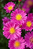 OLD COURT NURSERIES  WORCESTRSHIRE: CLOSE UP OF PINK FLOWERS OF ASTER BEECHWOOD CHARM (MICHAELMAS DAISY)