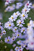 OLD COURT NURSERIES  WORCESTRSHIRE: CLOSE UP OF PALE BLUE FLOWERS OF ASTER PHOTOGRAPH (MICHAELMAS DAISY)