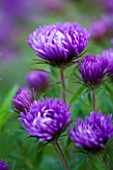 OLD COURT NURSERIES  WORCESTRSHIRE: CLOSE UP OF PURPLE FLOWERS OF ASTER NOVAE - ANGLIAE ST MICHAELS (MICHAELMAS DAISY)