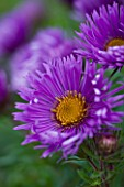 OLD COURT NURSERIES  WORCESTRSHIRE: CLOSE UP OF PURPLE FLOWER OF ASTER NOVAE - ANGLIAE ST MICHAELS  (MICHAELMAS DAISY)