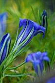 WAKEHURST PLACE  SUSSEX : CLOSE UP OF BEAUTIFUL BLUE GENTIANA SINO-ORNATA