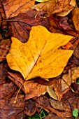 WAKEHURST PLACE  SUSSEX - CLOSE UP OF THE AUTUMN LEAVES OF LIRIODENDRON TULIPIFERA (THE TULIP TREE) LYING ON THE GROUND