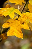 WAKEHURST PLACE  SUSSEX - CLOSE UP OF THE AUTUMN LEAVES OF LIRIODENDRON CHINENSE