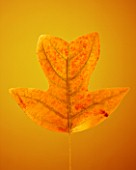 AUTUMNAL LEAF OF LIRIODENDRON CHINENSE