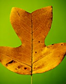 CLOSE UP OF THE AUTUMN LEAF OF LIRIODENDRON TULIPIFERA (THE TULIP TREE)