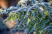 WOLLERTON OLD HALL  SHROPSHIRE: WINTER GARDEN IN FROST - CLOSE UP OF A FROSTED BACKLIT FERN IN ALICES GARDEN