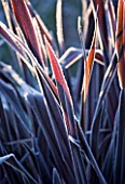 WOLLERTON OLD HALL  SHROPSHIRE: WINTER GARDEN IN FROST - CLOSE UP OF A FROSTED BACKLIT LEAVES OF PHORMIUM TENAX  ALL BLACK