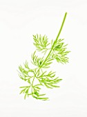 DILL - ANETHEMUM GRAVEOLENS. CULINARY  AROMATIC  FRAGRANT  FEATHERY LEAVES  WHITE BACKGROUND  CUT OUT  CLOSE UP  GREEN  ORGANIC