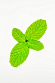MINT- MENTHA. CULINARY  AROMATIC  FRAGRANT  WHITE BACKGROUND  CUT OUT  CLOSE UP  GREEN  ORGANIC  SPRIG