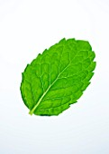 MINT LEAF - MENTHA. CULINARY  AROMATIC  FRAGRANT  WHITE BACKGROUND  CUT OUT  CLOSE UP  GREEN  ORGANIC