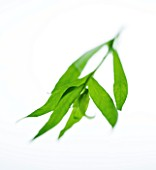 TARRAGON - ARTEMISIA DRACUNCULUS. CULINARY  AROMATIC  FRAGRANT  WHITE BACKGROUND  CUT OUT  CLOSE UP  GREEN  ORGANIC