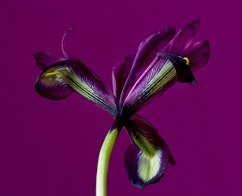 CLOSE_UP_OF_THE_UNDERSIDE_OF_THE_FLOWER_OF_IRIS_RETICULATA_GEORGE___SPRING__BULB__DARK_PURPLE