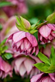 HARVINGTON HELLEBORES: CLOSE UP OF THE PINK FLOWER OF HELLEBORUS X HYBRIDUS AGATAS PINK DOUBLE