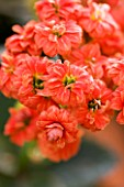 CLOSE UP OF THE ORANGEY RED FLOWERS OF KALANCHOE BLOSSFELDIANA CALANDIVA SERIES