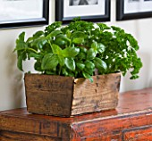 DESIGNER: CLARE MATTHEWS - OLD WOODEN BOX PLANTED WITH BASIL AND PARSLEY. HERBS  EDIBLE
