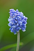 CLOSE UP OF THE BLUE FLOWER OF MUSCARI ARMENIACUM BLUE SPIKE