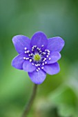 CLOSE UP OF THE PURPLE FLOWER OF HEPATICA TRANSSILVANICA