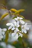 THE WHITE FLOWERS OF AMELANCHIER SNOWFLAKE. SHRUB   SPRING  RHS GARDEN  WISLEY