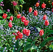 PALESTRINA TULIPS AND BLUE FORGET-ME-NOTS (MYOSOTIS). CHENIES MANOR GARDEN  BUCKINGHAMSHIRE