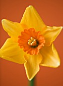 CLOSE UP OF THE FLOWER OF NARCISSUS AMBERGATE