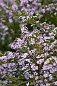 ROSE GRAY AND SCULPTOR DAVID MACILWAINE: THE ROOF TERRACE/ ROOF GARDEN - CLOSE UP OF PROSTANTHERA - AUSTRALIAN MINT BUSH