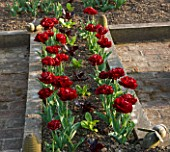 ULTING WICK  ESSEX : TULIP UNCLE TOM PLANTED WITH LETTUCES IN THE POTAGER IN SPRING