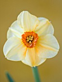 CLOSE UP OF THE FLOWER OF NARCISSUS SABINE HAY (DAFFODIL)