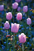 PASHLEY MANOR GARDEN  EAST SUSSEX  SPRING : CLOSE UP OF THE PINK FLOWERS OF TULIP PINK DIAMOND WITH FORGET-ME-NOTS