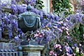 PASHLEY MANOR GARDEN  EAST SUSSEX  SPRING : LEAD URN ON PEDETAL SURROUNDED BY WISTERIA AND CLEMATIS MONTANA RUBENS