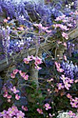 PASHLEY MANOR GARDEN  EAST SUSSEX  SPRING : PLANTING COMBINATION (CLIMBERS) UP A BALUSTRADE - CLEMATIS MONTANA RUBENS  WISTERIA AND CHOISYA TERNATA