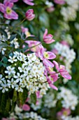 PASHLEY MANOR GARDEN  EAST SUSSEX  SPRING : PLANTING COMBINATION IN PINK AND WHITE (CLIMBERS)  - CLEMATIS MONTANA RUBENS AND CHOISYA TERNATA