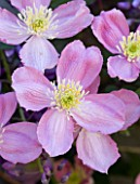 PASHLEY MANOR GARDEN  EAST SUSSEX  SPRING : CLOSE UP OF THE PINK FLOWERS OF CLEMATIS MONTANA RUBENS