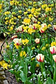 PASHLEY MANOR GARDEN  EAST SUSSEX  SPRING : PLANTING COMBINATION - YELLOW AND RED TULIP WORLD EXPRESSION AND YELLOW AZALEA