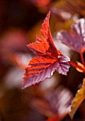 CLOSE UP OF THE LEAF OF PHYSOCARPUS LADY IN RED