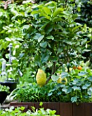 CHELSEA FLOWER SHOW 2009:  FRESHLY PREPPED GARDEN BY ARALIA. LEMON GROWING IN OUTDOOR KITCHEN SURROUNDED BY NASTURTIUMS AND BABY SALAD LEAVES