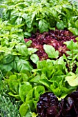 CHELSEA FLOWER SHOW 2009: FRESHLY PREPPED GARDEN BY ARALIA. CLOSE UP OF BABY LETTUCE LEAVES AND BASIL (HERB)
