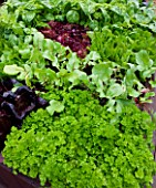CHELSEA FLOWER SHOW 2009: FRESHLY PREPPED GARDEN BY ARALIA. CLOSE UP OF PARSLEY AND BABY LETTUCE LEAVES