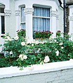 ICEBERG ROSES AND WINDOW BOXES WITH PELARGONIUM LORD BUTE 17  FULHAM PARK GARDENS  LONDON. DESIGNER: ANTHONY NOEL