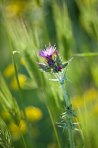 THE_ROU_ESTATE__CORFU_THISTLE