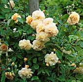 ROSE BUFF BEAUTY (MUSK ROSE) CLIMBING UP A WOODEN SUPPORT.  THE ANCHORAGE  KENT