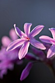 THE ROU ESTATE  CORFU: WILDFLOWER - CLOSE UP OF TULBAGHIA VIOLACEA