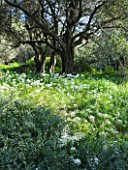 THE ROU ESTATE  CORFU: WILDFLOWERS - ACANTHUS SPINOSUS AND WILD GARLIC IN OLIVE GROVE