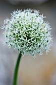 THE ROU ESTATE  CORFU: ACLOSE UP OF THE WHITE FLOWER OF ALLIUM MOUNT EVEREST