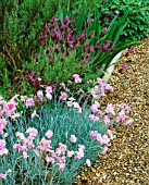 LAVENDER STOECHAS PENDUNCULATA AND DIANTHUS LILIAN BESIDE GRAVEL PATH AT THE ANCHORAGE  KENT. DESIGNER: WENDY FRANCIS