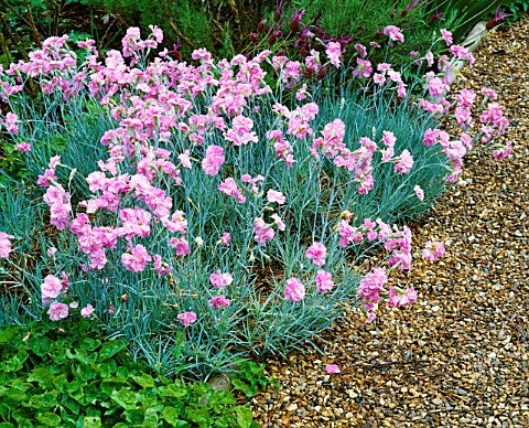 DIANTHUS_LILIAN_BESIDE_GRAVEL_PATH_AT_THE_ANCHORAGE__KENT